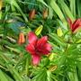 Asiatic lily (Lilium asiatica)