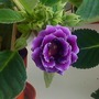 Gloxinia_in_kitchen_2009_06_11_001