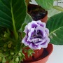 Gloxinia_in_kitchen_2009_06_13_001