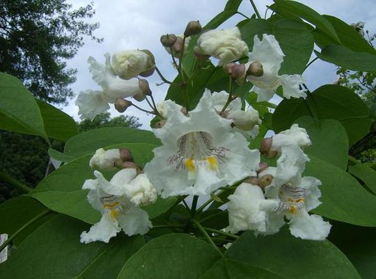 Gatalpa Tree Flowers