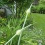 Elephant Garlic Buds