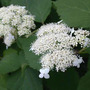 Hydrangea_annabelle_all_lacecap_6_12_04_close_med