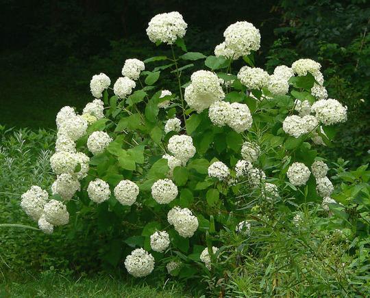Hydrangea Annabelle With Mopheads (Hydrangea arborescens Annabelle)