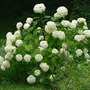 Hydrangea Annabelle With Mopheads (Hydrangea arborescens Annabelle)