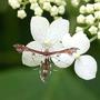 "Plume Moth on Hydrangea Annabelle (lacecap) (Hydrangea aborescens ""Annabelle"")"