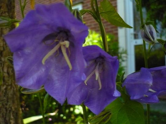 Campanula (Campanula abietina)