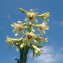 Flower of Giant Himilayan Lily...in sleepy Norfolk (Cardiocrinum giganteum (Giant lily))