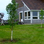 Two new pear trees (Pyrus communis 'Harrow Gold')