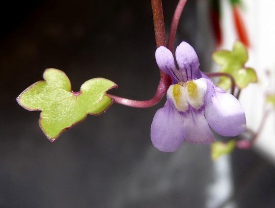 A garden flower photo (Linaria cymbalaria)