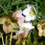 Helleborus niger (Helleborus niger (Christmas rose))