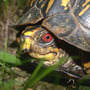 Turtle_box_male_eye_close_6_22_05_med