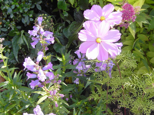cosmos and penstemon
