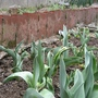 tulip (Tulipa gesneriana)