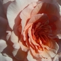 Close_up_Great_Expectations_rose.jpg (Mackalves Floribunda)