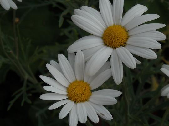 daisy by Megan