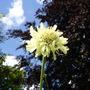 Cephalaria gigantea (Cephalaria gigantea (Giant scabious))