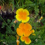 californian poppies (Eschscholzia californica (California poppy))