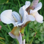 Iris Sibirica 'Roanoke Choice' - June 2009 (Iris sibirica (Siberian iris))