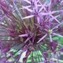 Allium christophii - June 2009 (Allium christophii)