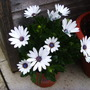 Osteospermum_pressie_from_my_dad