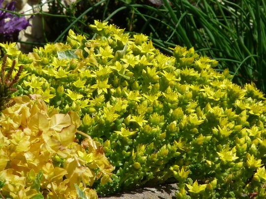 Sedum in the sun (Sedum anglicum (English Stonecrop))