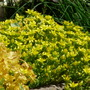 Sedum in the sun (Sedum anglicum (English Stonecrop))