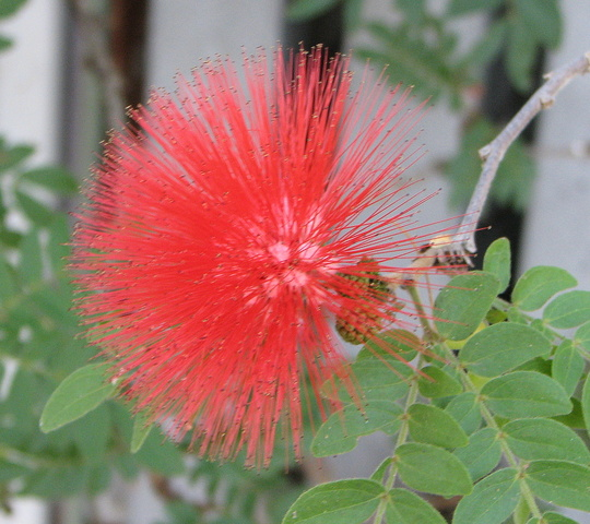 Red Powder Puff - Calliandra Haematocephala (Calliandra Haematocephala)