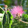 Pink Powder Puff - Calliandra Surinamensis (Calliandra Surinamensis)
