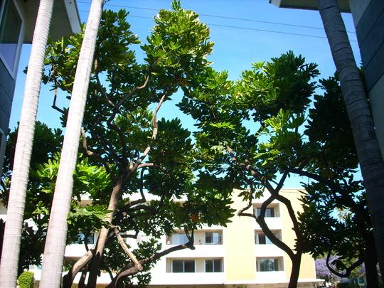 Dizygotheca (Schefflera) elegantissima - False Aralia (Dizygotheca elegantissima - False Aralia)