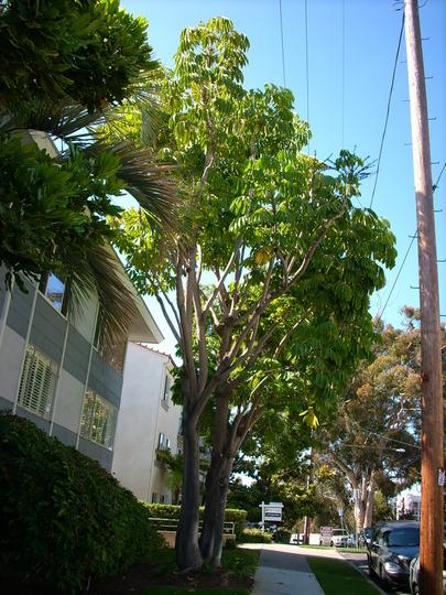 Schefflera actinophylla  - Queenland Umbrella Tree (Schefflera actinophylla  - Queenland Umbrella Tree)