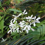 Euphorbia leucocephala - Snowflake Bush (Euphorbia leucocephala)