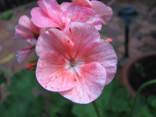 Pelargonium (Pelargonium x hortorum)