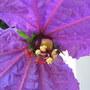 Silk_crepe_flower_10_dalechampia