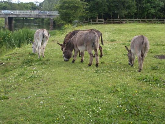 Donkeys at Trim Castle