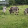 Donkeys_at_trim_castle