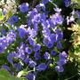 Geranium._johnson_s_blue