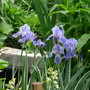 Iris pallida