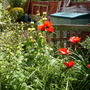 Poppy (Papaver bracteatum (Blood Poppy))