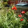 Poppy (Papaver bracteatum (Blood Poppy))