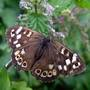 Brown_butterfly_5