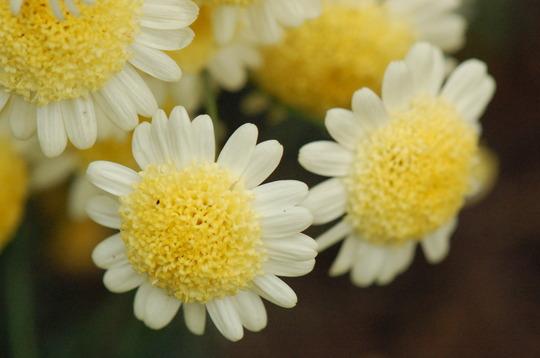 Argyranthemum 'Sole Mio' (Argyranthemum)