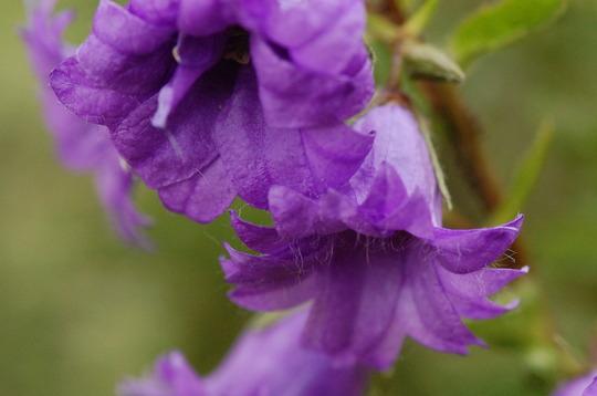 Campanula 'Bernice' (Campanula trachelium (Bats-in-the-belfry))