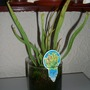 pitcher plant (sarracenia)