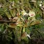 venus fly trap (Dionaea muscipula (Venus flytrap))