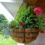 Hanging basket (Calibrachoa)