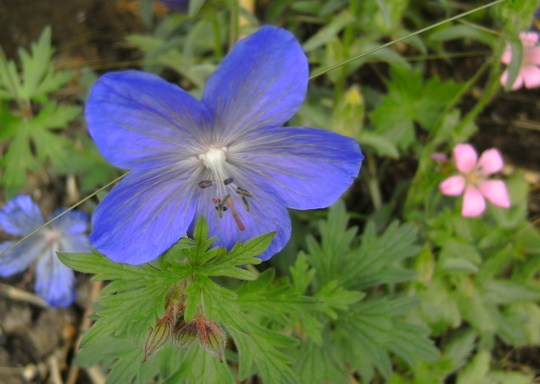 Geranium Johnson's Blue (Geranium (Cranesbill) Johnsons Blue)