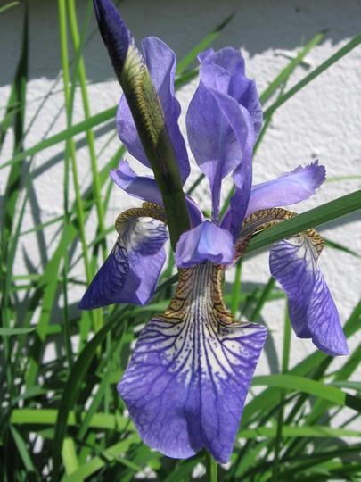 Siberian iris (Iris sibirica (Siberian iris))