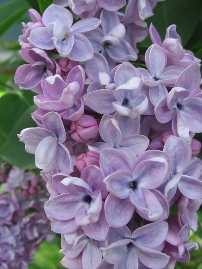 lilac close up (Syringa vulgaris (Common lilac))