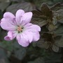Geranium_dusky_rose_a