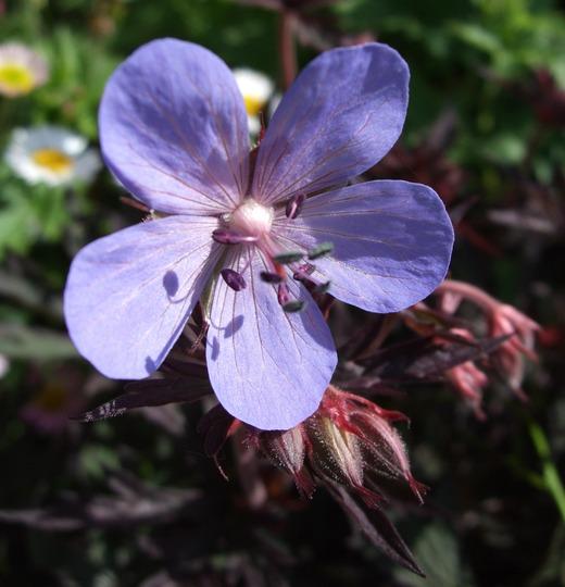 Geranium pratense 'Hocus-Pocus' (Geranium pratense)